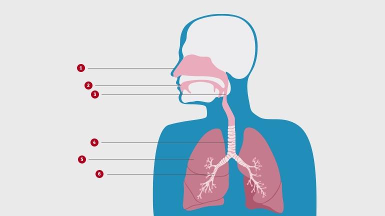 Ķermeņa augšdaļas shematisks zīmējums, kas parāda elpceļu uzbūvi